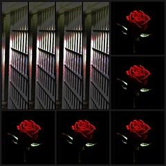 more roses killed in Iran (Hamid. M.) Tags: light people green rose photoshop freedom persian google darkness iran internet innocent persia memory innocence iranian martyr tehran martyrs pars  sorrow parsi parsian   internetiniran flickriniran