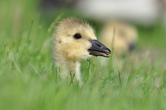 Canadian Goose: The Future Goose of Waterloo (mbaglole) Tags: park ontario birds nikon birding 300mm waterloo nikkor f4 afs mywinners