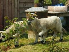 visiting sheep