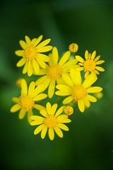 Butterweed (Joshishi) Tags: flower nature yellow spring memorial lincoln graden 105mmf28dmicro