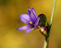Blue-eyed Grass (Charlotte Brett Photography) Tags: flower fife blueeyedgrass standrewsbotanicgarden