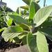 salvia officinalis berggarten / breedbladige salie