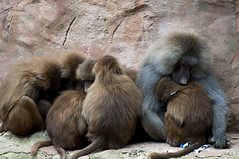 _DSC1892 Group Hug (mary~lou) Tags: family animal fletcher zoo monkey furry nikon hug mary cuddle d90 gamewinner 15challengeswinner thechallengegame challengegamewinner friendlychallenges mary~lou