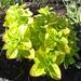 oreganum vulgare aureum / gulden marjolein