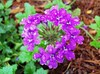 Circle of Purple, Amelia Island Clump Verbena