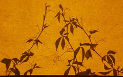 shadows of leaves (glauco's & antonella's) Tags: ombra sole ombrecinesi glaucos