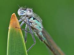 Ischnura elegans (Eddie The Bugman) Tags: nottingham macro insect nikon attenborough micro 60mm nikkor damselfly odonata insecta zygoptera d90