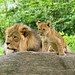 Lions - Dad and cub