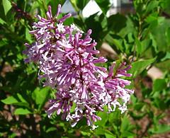 Miss Kim lilac blooms