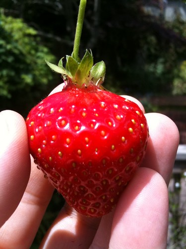 First strawberry picked!