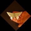 Alexander Aztec Swallowtail