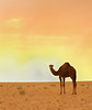 camel (aziouezmazouz) Tags: macro beauty lights amazing colours camel national canon5d geographic pictureperfect nationalgeographic beautifulscenery bellissima vibrantcolours nicecapture naturewatcher vividstriking