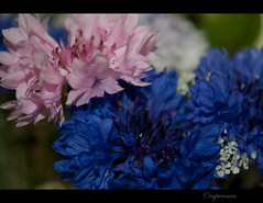Colorful little flowers (capreoara) Tags: pink blue wild white plant flower color macro up field closeup spring mix nikon dof close may petal romania depth 2010 oradea d3000 oradearomania