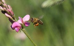 working class hero (**MIKA**) Tags: bee pollen honeybee biene nektar flug honig bokehlicious