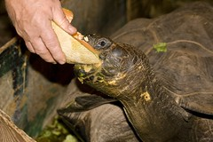 "MD- Catoctin - galapagos turtle eats melon 2 • <a style=""font-size:0.8em;"" href=""http://www.flickr.com/photos/30765416@N06/4688470768/"" target=""_blank"">View on Flickr</a>"
