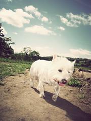 Dogs Level (danielleyc) Tags: summer nature sunshine countryside walk westie sunny lancashire walkies colne canonixus95is danielleyc