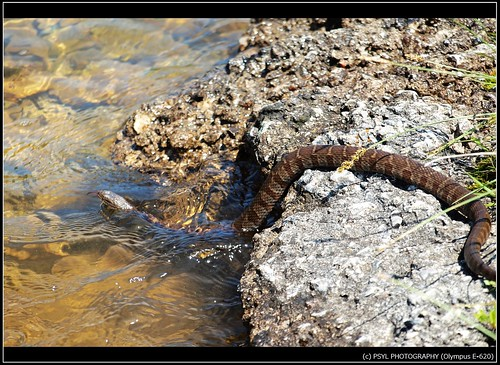 Northern Water Snake (Nerodia sipedon)