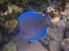 Blue Tang IMGP9038 (SunCat) Tags: travel cruise vacation fish coral islands all underwater snorkeling virgin british caribbean charter bvi 2010 virgingorda bluetang flamboyance