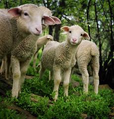 woolies in wyoming: hasselblad study #2 (manyfires) Tags: ranch cute green film wool rural mediumformat square spring babies sheep dusk farming hasselblad lamb lambs wyoming grazing woolies hasselblad500cm wooliesinwyoming