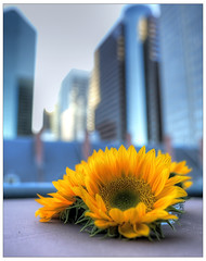 A flower in Downtown Manhattan (kw~ny) Tags: street new york city nyc fish ny flower downtown dof market bokeh manhattan district south lower fulton financial hdr seaport