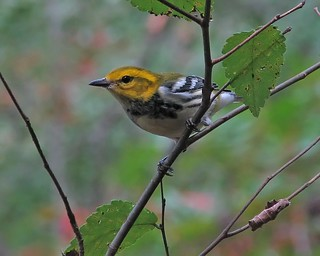 for Panta:  Black-throated green warbler