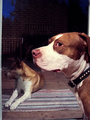 Apollo and Buddy (The Official Holly Ferocious®) Tags: dog reflection dogs geotagged cybershot pitbull pointandshoot amateur akita pointshoot iluvmydog elementsorganizer