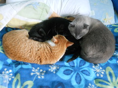 Enlace (Bibi) Tags: sleeping orange cats black grey gris bed chat noir laranja gray gatos preto cama kafka cinza truffaut dormindo pretinho rousseau preto