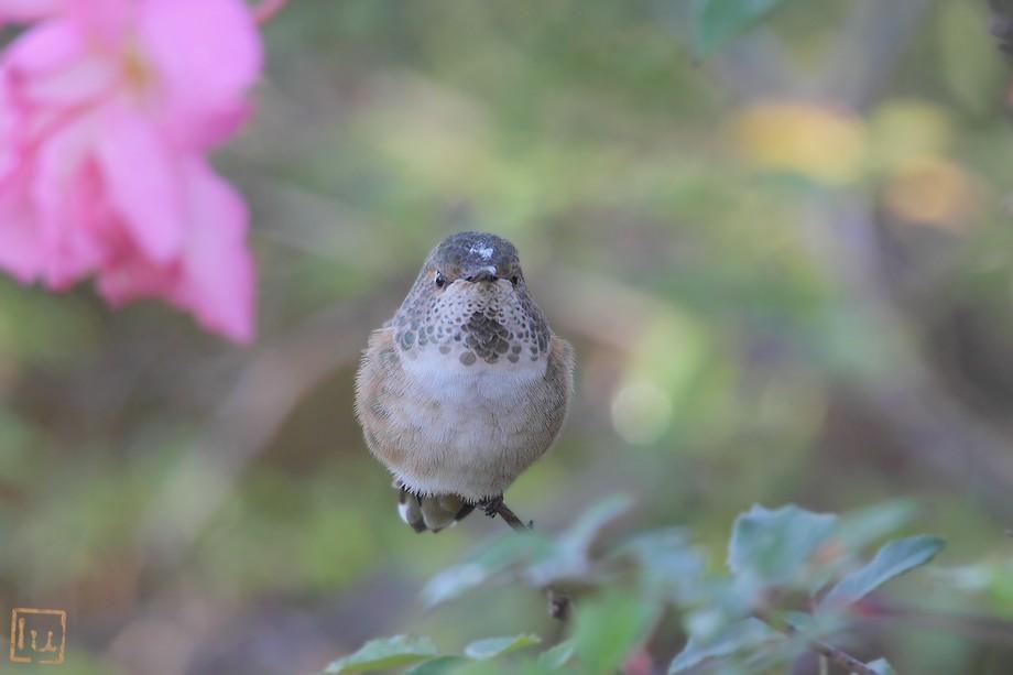 Allen's Hummingbird 110510-1