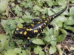 Salamandre de Corse (photo de L. MARSOL)
