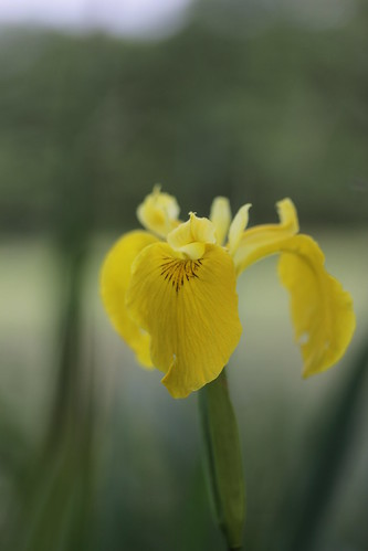 Yellow Flag - Iris pseudacorus