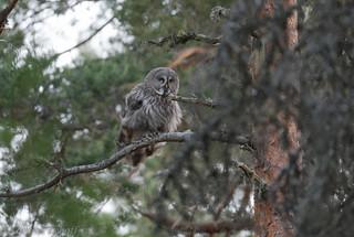 Chouette lapone Great Grey Owl  2421_DxO.jpg