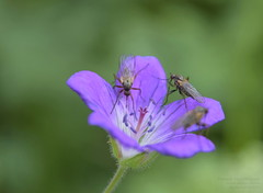 An occupation (russian-photographer.ru) Tags: flowers purple insects macro mosquito fly цветы фиолетовый насекомые макро комар муха occupation