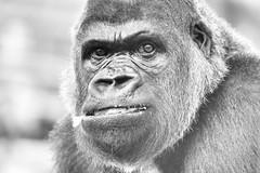 Investment (kceuppens) Tags: gorilla private antwerp antwerpen silverback siliver zoovanantwerpen zoo captive gevangen gevangenschap nikon d810 nikkor80400afs nikkor 80400 black white bw blackandwhite zwartwit zwart wit powerful krachtig
