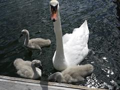 Cygnets (Päivi ♪♫) Tags: norway oslo okk oskokayakclub swan family cygnets