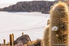 Isla Incahuasi (takashi_matsumura) Tags: potosidepartment bolivia isla incahuasi uyuni ngc nikon d5300 cactus plant flora sigma 1750mm f28 ex dc os hsm