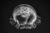 Moon Jellyfish (Aurelia Aurita) (Chen Yiming) Tags: aquarium monterey montereybay montereybayaqaurium ocean sea water underwater aquatic jellyfish nettle moonjellyfish aureliaaurita