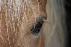la bella biondina (gufino (out for awhile)) Tags: fauna sguardo cavallo occhio animali pelo bestie testa equino ciuffo