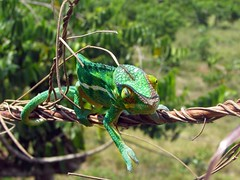 Panther chameleon. Furcifer pardalis. (Linda DV (the bad panda is getting on my nerves)) Tags: geotagged madagascar canon nosybe lokobé pantherchameleon furciferpardalis lindadevolder powershots5is 2009 africa reptilia