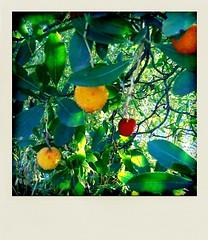 Winter Strawberries (MazetMan) Tags: sun leave soleil montpellier droid feuille strawberrytree iphone polaroidonized arbouse arbousier poladroid mazetman