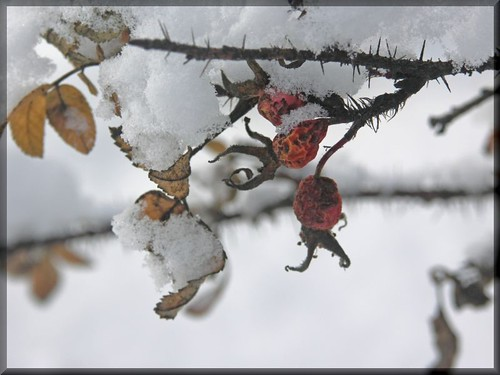 thorns, rosehips and snow
