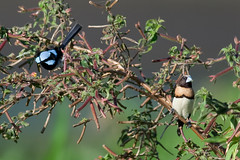 BIT CROWDED (petefeats) Tags: nature birds australia brisbane queensland superbfairywren chestnutbreastedmannikin eaglebywetlands