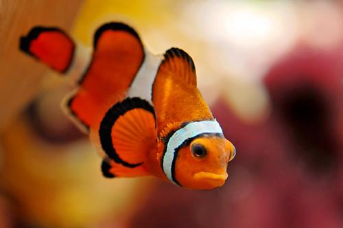 フリー画像| 動物写真| 魚類| カクレクマノミ/クラウンフィッシュ|        フリー素材|