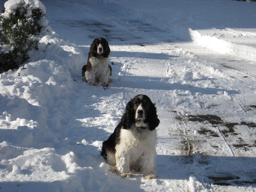 Great Spaniels of the snow