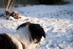 Look at all that snow.... I'm gonna have a blast! (fotoham) Tags: dog snow puppy bordercollie pup indi