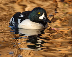 Goldeneye in Golden Water (Eric_Z) Tags: canada reflection male water vancouver bc ducks goldeneye bucephalaclangula divingducks goldenwater
