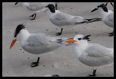 Terns, Royal and Sandwich ~ (**Mary**) Tags: usa beach birds wonder sand florida wildlife flock waterfowl seabird flockofbirds royalterns naplesflorida royalternthalasseusmaximus