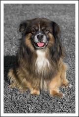 ¡¡Que calor!!!. (La Monjita 44) Tags: dog pet fauna perro patas lengua mascota sed pelo descanso calor raza chucho streetdog animaldecompañía animaldoméstico especie