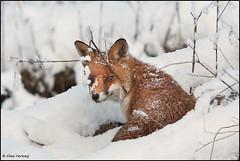 Fox hiding ...behind a tree....(Explore) (Alex Verweij) Tags: snow holland ice netherlands canon sneeuw nederland fox hiding flevoland almere vos ijs 40d alexverweij