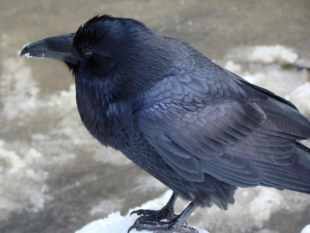 DSC04144 American Crow