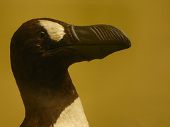 Great Auk (noj.johnson) Tags: tring nhm
